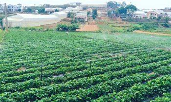 9 vườn dâu đẹp ở Đà Lạt nên ghé qua